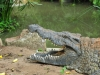 Nilkrokodil (Crocodylus niloticus) - Thika