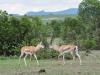Grant's gazelle (Nanger granti) - Ol Pejeta Concervancy
