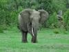 Afrikanische Elefant (Loxodonta africana) - Ol Pejeta Concervancy