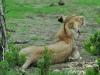 Massai-Löwe (Panthera leo massaicus)- Ol Pejeta Concervancy