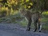 Afrikanischer Leopard (Panthera pardus pardus) - Ol Pejeta Concervancy