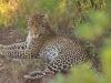 Afrikanischer Leopard (Panthera pardus pardus)- Ol Pejeta Concervancy