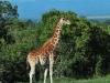 Netzgiraffe (Giraffa reticulata) - Ol Pejeta Concervancy
