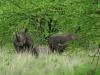 Südliches Breitmaul-Nashorn (Ceratotherium simum simum) - Meru NP