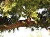 Afrikanischer Leopard (Panthera pardus pardus) - Meru NP