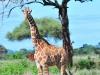 Netzgiraffe (Giraffa reticulata) - Meru NP
