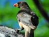 Gelbschnabel-Madenhacker (Buphagus africanus) - Meru NP