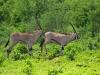 Beisa-Oryx (Oryx beisa) - Meru NP