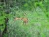 Giraffengazellen (Litocranius) - Meru NP