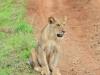 Massai-Löwe (Panthera leo massaicus) - Meru NP