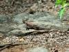 Siedleragame (Agama lionotus) - Meru NP