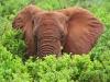 Afrikanische Elefant (Loxodonta africana) - Meru NP