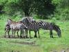 Steppenzebra (Equus quagga) - Meru NP