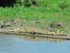 Nilkrokodil (Crocodylus niloticus) - Meru NP