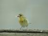 Dorfweber (Ploceus cucullatus) - Ol Pejeta Concervancy