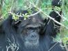 Schimpanse (Pan) - Ol Pejeta Concervancy