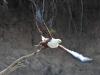 Schreiseeadler (Haliaeetus vocifer) - Ol Pejeta Concervancy