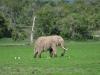 Afrikanische Elefant (Loxodonta africana)- Ol Pejeta Concervancy