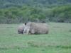 Südliches Breitmaul-Nashorn (Ceratotherium simum simum)- Ol Pejeta Concervancy