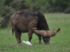 Afrikanische Büffel (Syncerus caffer) - Ol Pejeta Concervancy