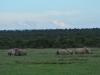 Südliches Breitmaul-Nashorn (Ceratotherium simum simum) - Ol Pejeta Concervancy