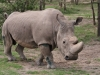 Sudan- Nördliches Breitmaul-Nashorn - Ol Pejeta Concervancy