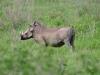 Warzenschwein (Phacochoerus africanus) - Nakuru NP