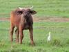Afrikanische Büffel (Syncerus caffer) - Nakuru NP