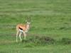 Thomson's gazelle (Eudorcas thomsonii) - Nakuru NP