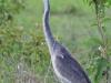 Schwarzhalsreiher (Ardea melanocephala) - Nakuru NP