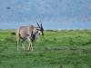 Elenantilope (Taurotragus oryx) - Nakuru NP