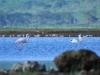 Rosaflamingo (Phoenicopterus roseus) - Nakuru NP