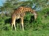 Rothschild's Giraffe (Giraffa camelopardalis rothschildi) - Nakuru NP