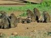 Pavian - Nakuru NP