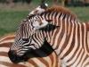 Steppenzebra (Equus quagga) - Nakuru NP