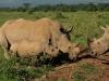 Südliches Breitmaul-Nashorn (Ceratotherium simum simum) - Nakuru NP