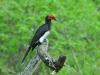 Kronentoko (Tockus alboterminatus) - Nakuru NP