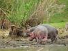 Flusspferd (Hippopotamus amphibius) - Lake Naivasha