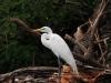 Silberreiher (Ardea alba) - Lake Naivasha